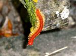 Bright Colored Millipede